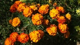 Orange Flowers Footage