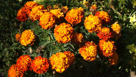 Orange Flowers Stock Video Footage