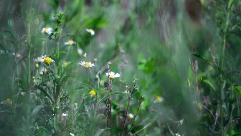 Chamomile field Stock Video Footage