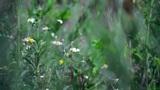 Chamomile field Footage