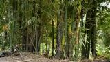 bamboo Footage
