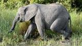 elephant Footage