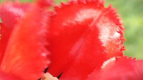 red petals Stock Video Footage