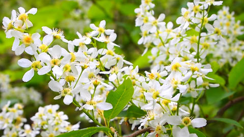 bird-cherry tree Footage