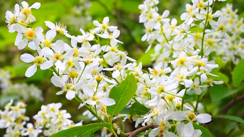 bird-cherry tree Stock Video Footage