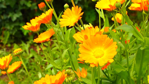 calendula Stock Video Footage