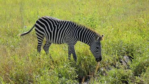 Zebra Stock Video Footage