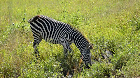 Zebra Stock Video Footage