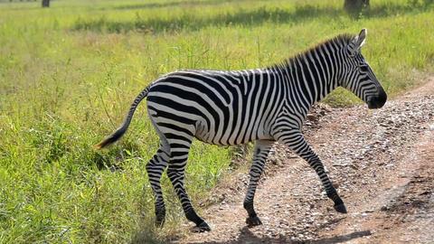 Zebra Footage