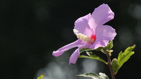 Hibiscus 4 Stock Video Footage