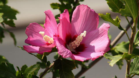 Hibiscus 4 Stock Video Footage