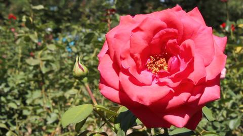 Rose Footage