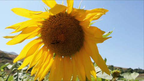 Sunflowers 19 Stock Video Footage