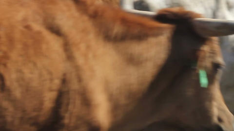 Cattle Drive Seamless Loop Stock Video Footage