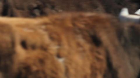 Cattle Drive Seamless Loop Footage