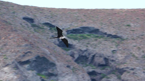 Low Angle Shot of a Frigate Seabird Gliding on Open Wings Stock Video Footage