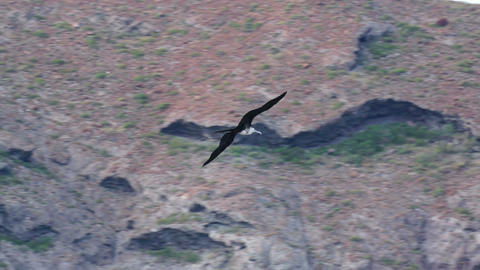 Low Angle Shot Of A Frigate Seabird Gliding On Open Wings stock footage