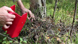 Berry picking Stock Video Footage