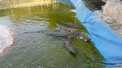 crocodile Footage