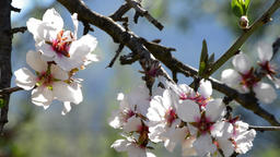 Branches of almond blossoms flowering almond Footage