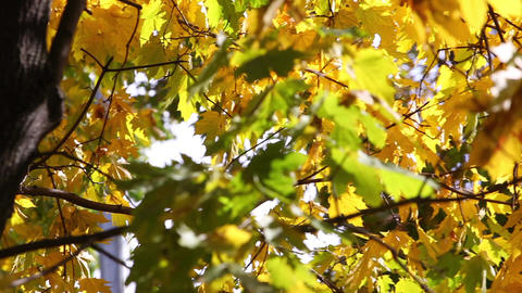 Sunny fall day pan video of green and yellow maple tree leaves Footage