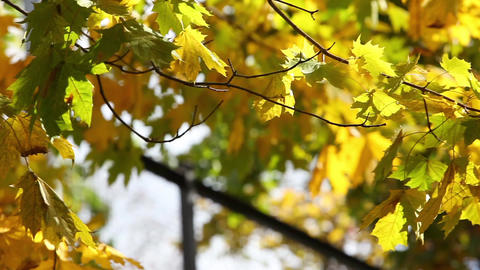 Yellow maple leaves on sunny autumn day pan shot Footage