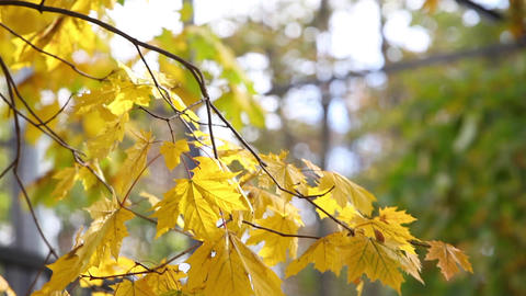 Green and yellow maple leaves on sunny autumn day pan video Live Action