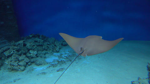 4K video of a stingray drifting under water against blue background Footage