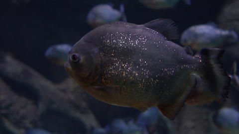 Close up 4K video of piranhas floating under water Footage