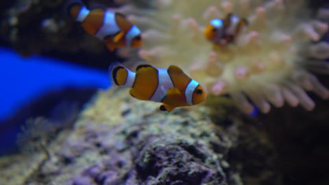 Three bright striped clown fishes float under water against actinia 4K video Footage