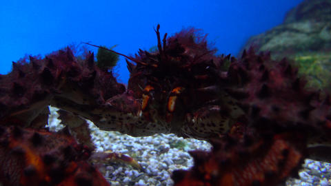 Big scary crab crawling under water 4K close up video Footage