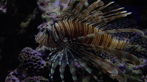 Exotic Caribbean lion fish floating under water. 4K video Stock Video Footage