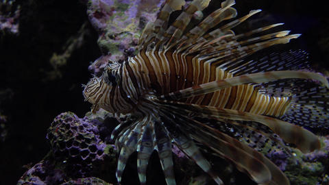 Exotic Caribbean lion fish floating under water. 4K video Footage