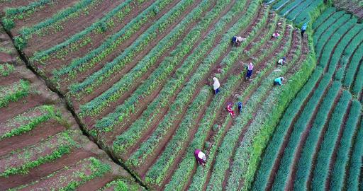 Agrapura farmers working in their onion plantation, Indonesia Footage