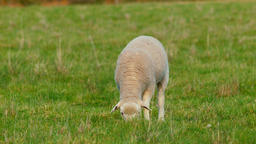 Young Lamb Grazing In A Grassy Meadow Footage