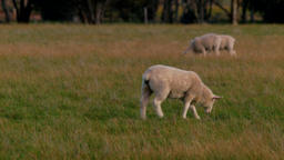 Young Lamb Walking And Grazing Footage