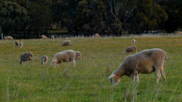 Sheep And Lambs Grazing In A Paddock Footage
