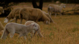 Lambs And Sheep Grazing On Dry Grass ภาพวิดีโอ