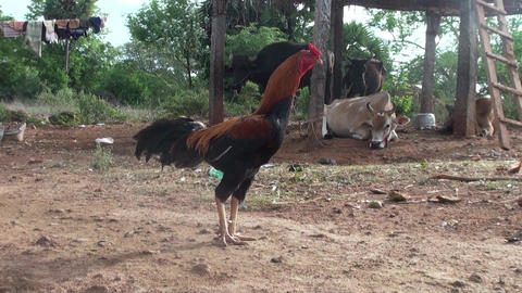 Rooster watching camera close nature background Footage