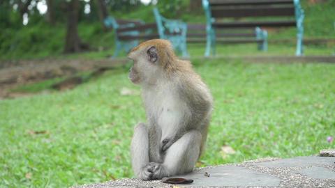 Male monkey taking care of female monkey, Thailand Footage