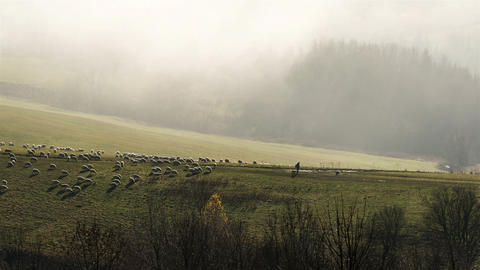 Sheep feeding pasture in autumn mist morning time lapse Footage