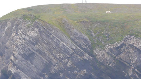 Relevant today: summer, polar bears remain on Islands and rob bird rookeries Footage