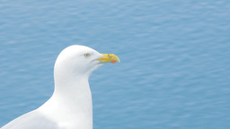 Portrait of Seagull Jonathan Livingston Seagull. Arctic Footage