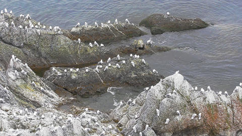 Hangout: Reefs And Many Resting On Rocks Kittiwakes. Barents Sea stock footage