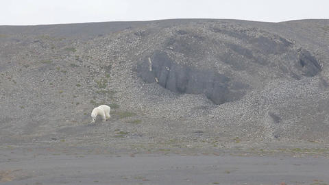 Relevant today: in summer, polar bears remain on Islands and search of food 1 Footage