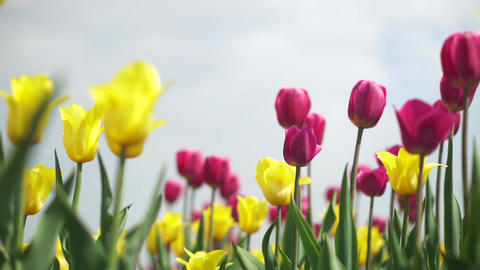 Yellow and pink tulips in a field Footage