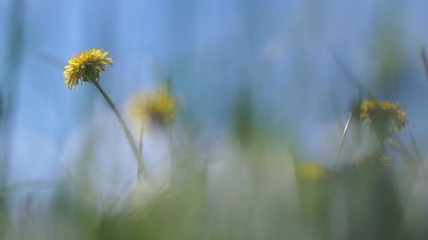 Beautiful dandelions in a field on blue sky background Footage