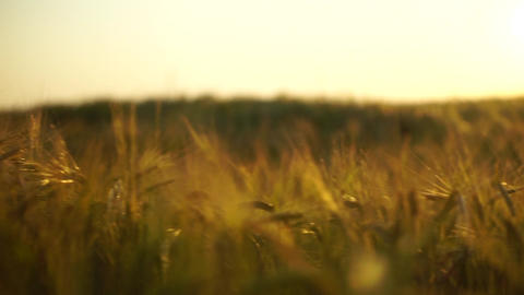 Golden spikes on summer sunset field. Steadicam shallow focus shot Footage