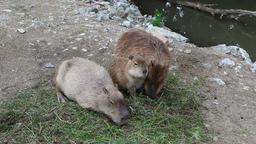 Three Capybaras eating the grass ビデオ