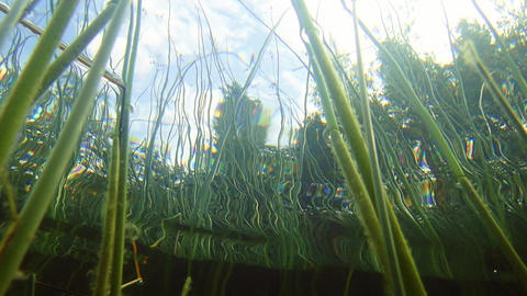 Low-angle underwater view of Lakeshore bulrush aquatic plant Footage